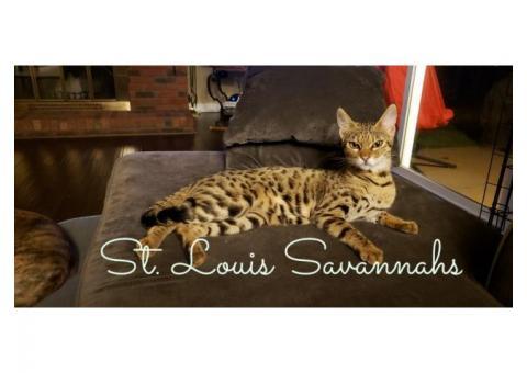 F3 Savannah kittens ready by Thanksgiving!